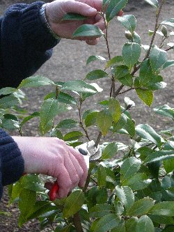 how to prune a camellia