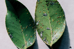 scale insect on camellias